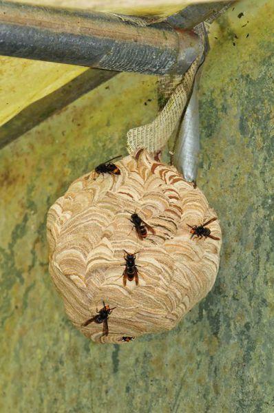 le 1er nid de frelon asiatique d couvert sur st mars sur la futaie saint mars sur la futaie. Black Bedroom Furniture Sets. Home Design Ideas